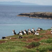 Curious puffins seen on a daytrip from Tramway Cottages